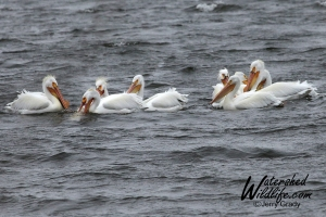 Pelicans in Michigan